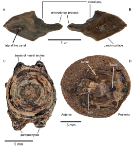 Fossils of Eocene bony fishes from northern Banks Island, NWT.  CMNFV 56070, lateral line scale of Atractosteus from CMN Loc. BKS04-16, in medial (A) and lateral (B) views. (C) CMNFV 56069, vertebral centrum of ?Amiid. (D) CMNFV 56071, Esocid scale. C and D are from CMN Loc. BKS04-19.  doi:10.1371/journal.pone.0096079.g002