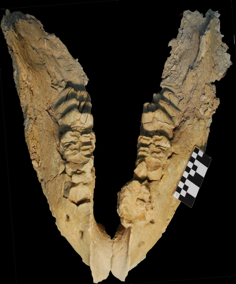 Gomphothere mandible uncovered at El Fin del Mundo. Archaeologists working in northwestern Mexico were not sure what kind of animal they had unearthed until they found this telltale jawbone, which belonged to a gomphothere. Credit: Joaquin Arroyo-Cabrales