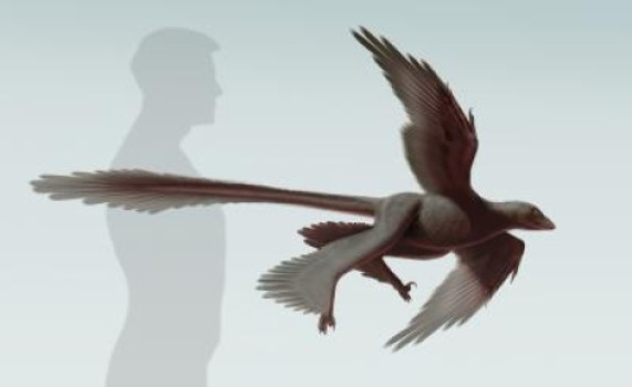This is an illustration of newly discovered feathered dinosaur, Changyuraptor yangi. Credit: S. Abramowicz, Dinosaur Institute, NHM
