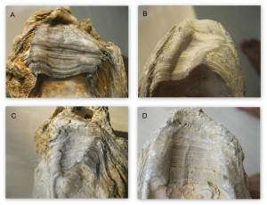 Chondrophore features on fossil specimens