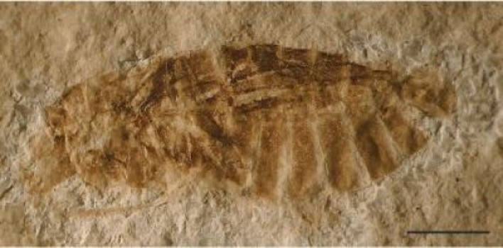 This is a fossilized aquatic bug from the Orbagnoux outcrop of the Rhone valey: Gallomesovelia grioti (scale bar 1 mm). Credit: Nel Andre