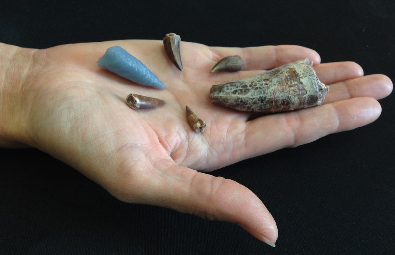 Teeth from phytosaurs, a reptile from the Triassic Period about 210 million years ago in what is now the western United States. The blue tooth on the left is a 3-D printed replica of a tooth embedded in the thigh bone of a rauisuchid, another Triassic period carnivore. The details of the tooth were digitally extracted using CT scans. Credit: Virginia Tech