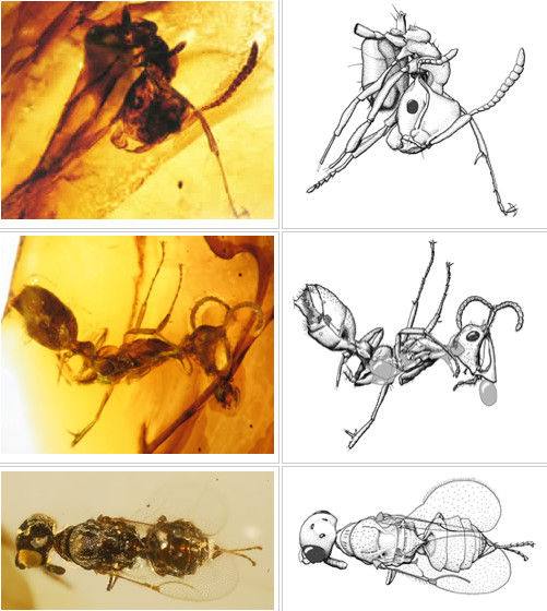 Photos and drawings of inclusions in Canadian Cretaceous amber from Grassy Lake amber, a 78-79 million year old amber in the Late Cretaceous of southern Alberta. Credit: University of Alberta Strickland Entomology Museum specimen, R.C. McKellar; Chronomyrmex ant Grassy Lake amber, UASM specimen photo; Chronomyrmex ant Grassy Lake amber, UASM specimen drawing