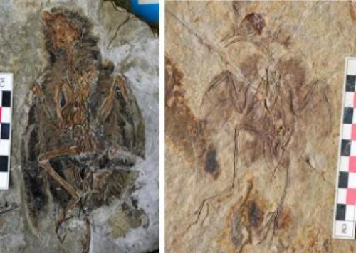 This image shows fossil birds from the time of dinosaurs [left image: Eoenatiornis, right image: Hongshanornis] showing they had diverse types of legs. Credit: Roger Close