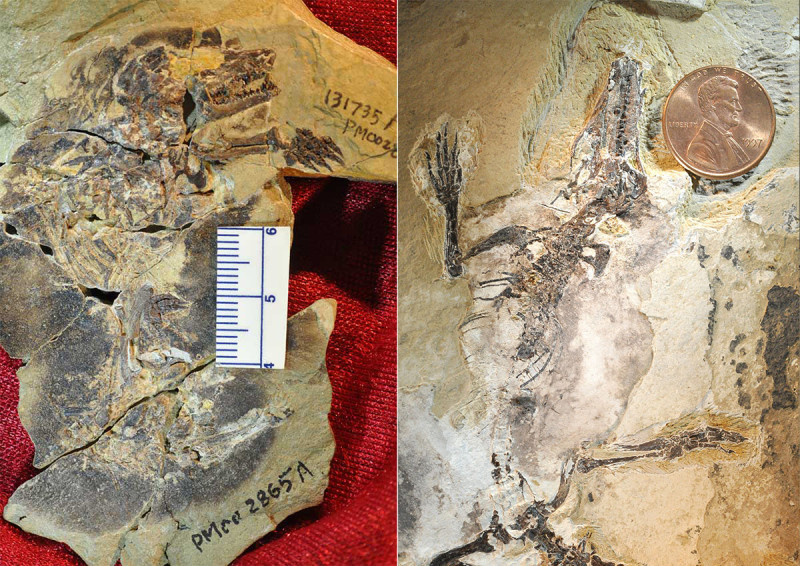 Photos of the fossils of Docofossor (left) and Agilodocodon (right). Credit: Zhe-Xi Luo, University of Chicago