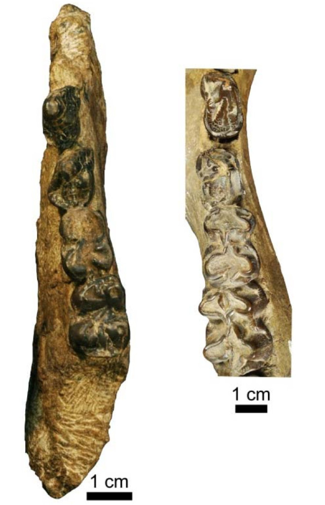 Right, a hemi mandible of Epirigenys lokonensis with premolars 3 and 4 and molars 1 and 2. Compared with, to the left, a hemi mandible from a hippopotamid fossil. Credit: © LPRP/J.-R. Boisserie