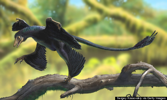 An illustration of a microraptor, which the dinosaur fossil closely resembles.