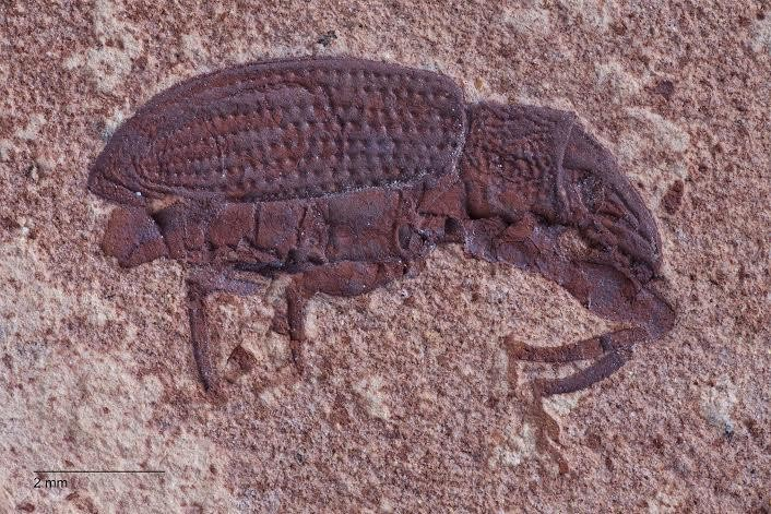 The rich diversity seen in modern-day beetles could have more to do with extinction resistance than a high rate of new species originations. Credit: Dena Smith