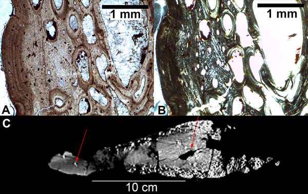 Histology of S. mjosi plates.  (A) A thin section of a tall morph plate (JRDI 5ES-357) in plane polarized light showing an external fundamental system (EFS) indicating the cessation of growth. Bone surface is to the left. (B) The same image but in crossed polarized light. (C) A CT scan of a tall morph plate (JRDI 5ES-237) in cross-section along the frontal plane. Red arrows indicate internal vascular piping that is a sign of sexual maturity.  doi:10.1371/journal.pone.0123503.g003