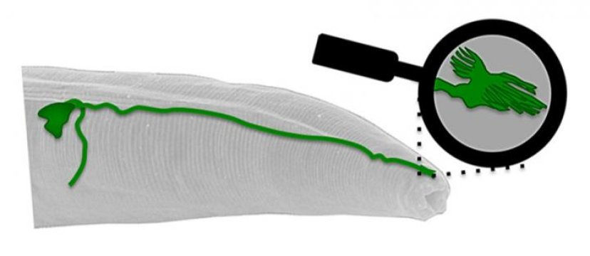 Inside the head of the worm C. elegans, the TV antenna-like structure at the tip of the AFD neuron (green) is the first identified sensor for Earth's magnetic field. Credit: Illustration by Andres Vidal-Gadea.