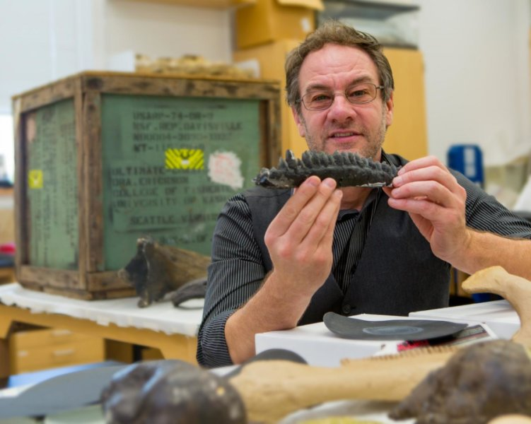 Professor Gregory Erickson examines preserved teeth from a Triceratops. Credit: Bill Lax/Florida State University