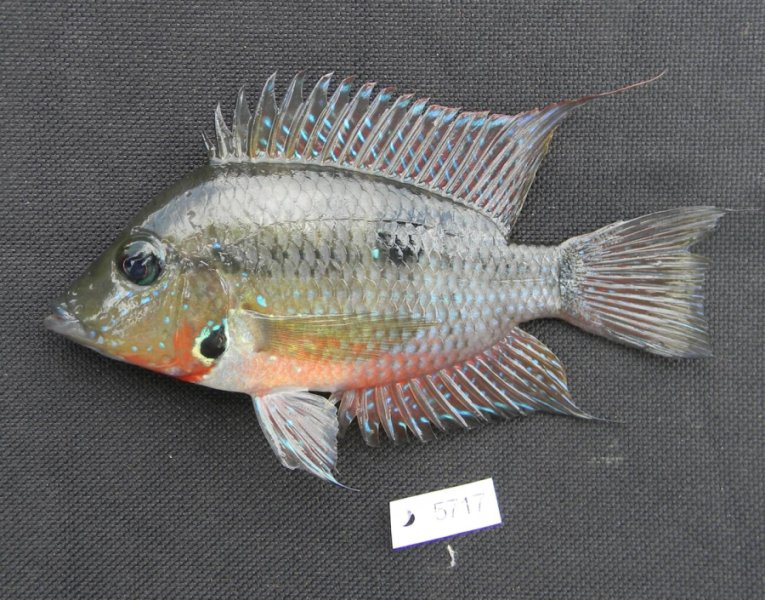 One of the cichlid fish from Guatemala, Thorichthys meeki, collected by LSU Curator of Ichthyology Prosanta Chakrabarty for the study that refuted the date in which the Isthmus of Panama was formed. Credit: Courtesy of Prosanta Chakrabarty, LSU