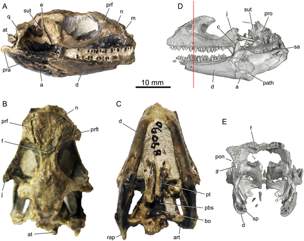 Holotype (UWBM 89090) specimen for Babibasiliscus alxi nov. taxon.  Photographs in (A) right lateral, (B) dorsal, and (C) ventral views. Digital reconstructions derived from HRXCT in (D) left lateral view and (E) transverse section. The vertical red line in (D) indicates the plane of section in (E).  doi:10.1371/journal.pone.0127900.g001