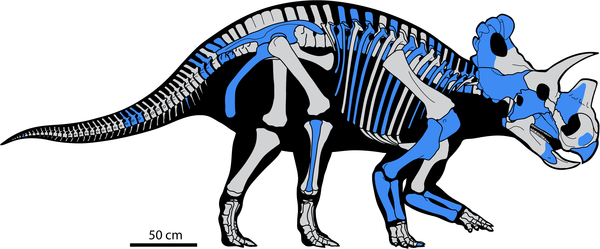 Skeletal reconstruction of Wendiceratops pinhornensis gen. et sp. nov.  Elements represented in the material collected from the bonebed are indicated in blue.