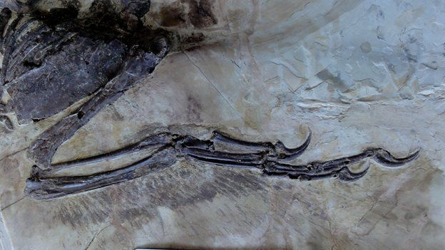 The complex feathers of the dinosaur's wings are beautifully preserved