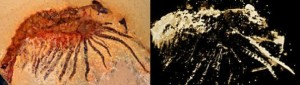 The figure on the left shows a light micrograph of the fossil, while the microtomographic image right reveals fine details of structures hitherto concealed within the slab. Credit: Image courtesy of LMU