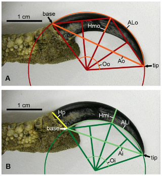 Size and curvature measurements taken from each claw, using methodology of Pike and Maitland (2004). (A) Outer curvature measurements. ALo, arc length from claw base to tip; Ao, straight line (chord) distance from claw base to tip; Hmo, height of claw at midpoint; Oo, angle of curvature. (B) Inner curvature measurements. ALi, arc length from claw base to tip; Ai, straight line (chord) distance from claw base to tip; Hmi, height of claw at midpoint; Hp, height of claw at base; Oi, angle of curvature. doi:10.1371/journal.pone.0007999.g002