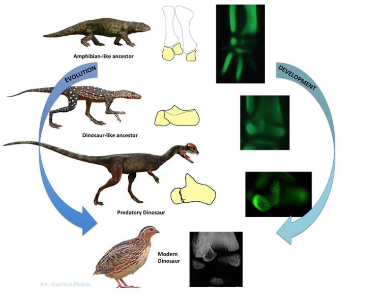 "Like modern amphibians, the remote ancestors of birds once had three bones in their upper ankle. When these evolved into landegg-laying animals, only two bones were present in this region. In dinosaurs, one of these, the anklebone, presents a pointed upward projection, the ""ascending process"". This trait is also present in birds, which are living dinosaurs. A new detailed embryological study in birds reveals that their ankle has re-evolved an amphibian-like developmental pattern, with three separate elements, one of which becomes the dinosaurian ascending process Credit: Image courtesy of Universidad de Chile"
