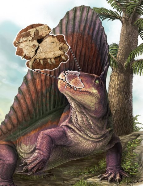 "Dimetrodon is shown with an overlay of the ""Bathygnathus"" fossil from PEI, with a Walchia tree in the background (a common fossil found on PEI). Credit: Illustration by Danielle Dufault"