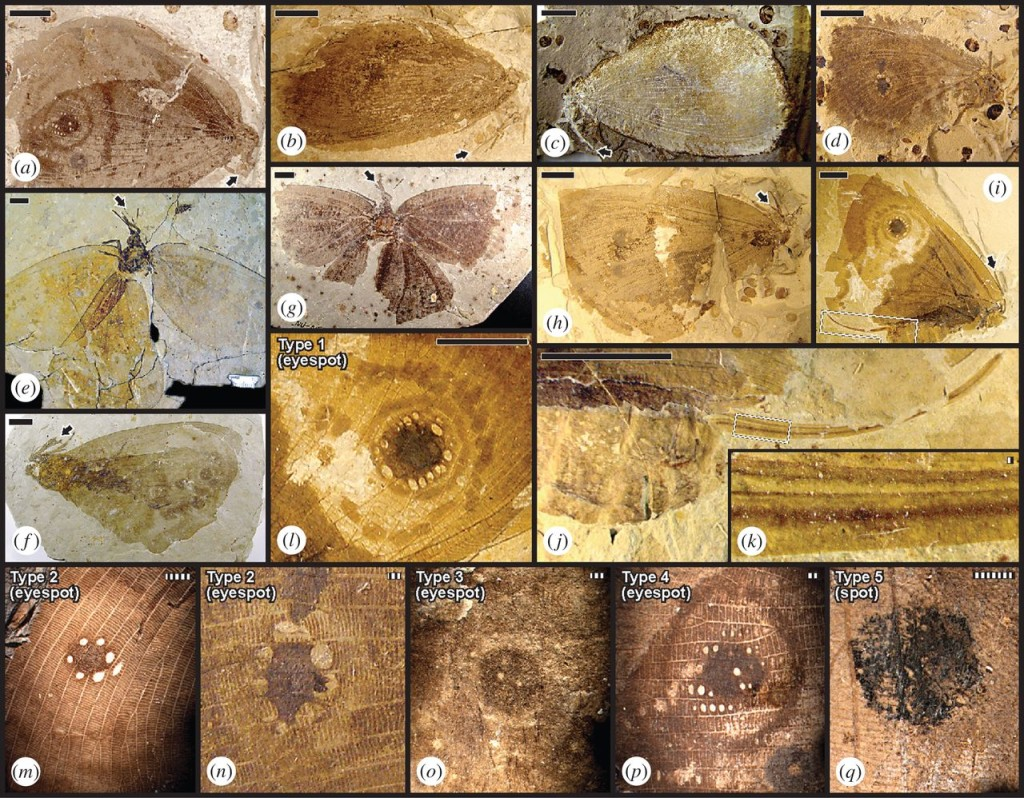 Kalligrammatid structural diversity. Specimens are from the late-Middle Jurassic Jiulongshan Fm. (JIU), China; Late Jurassic Karabastau Fm. (KAR), Kazakhstan; and mid-Early Cretaceous Yixian Fm. (YIX), China (electronic supplementary material, tables S2 and S3). At (a–i) are nine species showing general habitus [11]. Arrows indicate proboscis tips. (a) Kalligramma circularia (JIU); (b) Affinigramma myrioneura (JIU); (c) A. myrioneura (JIU); (d) Kallihemerobius feroculus (JIU); (e) Oregramma aureolusa (YIX); (f) Ithigramma multinervia (YIX); (g) Abrigramma calophleba (JIU); (h) Kalligramma brachyrhyncha (JIU); and (i) Oregramma illecebrosa (YIX). (i–k) Lateral views of ovipositor structure in O. illecebrosa above: (i) intact specimen; (j) complete ovipositor and posteriormost abdominal segments; and (k) lateral valve pairs. (l–q): five kalligrammatid wing eyespot and spot types detailed in figures 2 and 3; electronic supplementary material, figure S1. (l) Type 1 wing eyespot with two outer rings and ca 15 contiguous ocules surrounding a central pigmented disc (O. illecebrosa, YIX); (m) Type 2 wing eyespot with a single outer ring, light-hued inner area, and uninterrupted, pigmented central disc with surrounding, non-contiguous ocules (Kallihemerobius almacellus, JIU); (n) Type 2 eyespot similar to (M) (Kallihemerobius feroculus, JIU); (o) Type 3 wing eyespot with a light-hued circular area and a few, variably sized ocules in a darkly pigmented central disc (Ithigramma multinervia, YIX); (p) Type 4 wing eyespot contains a few ocules and others surrounding a pigmented central disc, a light-hued inner area and surrounding, dark outermost ring (K. circularia, JIU); and (q) Type 5 wing spot of a circular, pigmented central disc (Kallihemerobius aciedentatus, JIU). Scale bars: solid, 10 mm; striped, 1 mm.