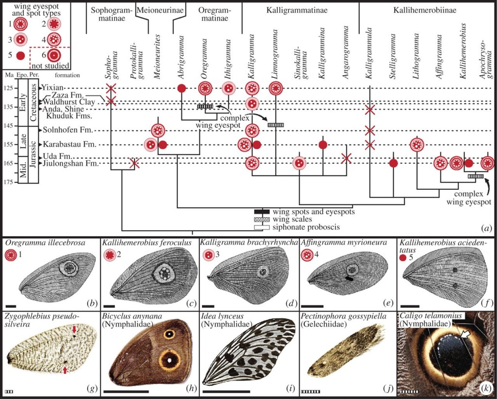 Phylogenetic context of wing spots and eyespots in mid-Mesozoic kalligrammatids, with comparisons to modern lepidopterans (electronic supplementary material, text S3). The best preserved fossil material was used for this analysis. (a) Most parsimonious tree of Kalligrammatidae phylogeny [11] (electronic supplementary material, table S2), with right forewing eyespot/spot condition mapped onto terminal clades and likely wing spot and eyespot origins. Wing eyespot and spot type symbols are at upper-left; crosses are eyespot/spot absences. (b–g) Examples of right forewings with wing eyespots or spots from mid-Mesozoic Kalligrammatidae (b–f), and modern Psychopsidae (g). These taxa correspond to a Type 1 eyespot (b), Type 2 eyespot (c), Type 3 eyespot (d), Type 4 eyespot (e) and two Type 5 double spots (f) matched by two spots in modern psychopsid (red arrows) in (g). Kalligrammatid wing eyespots and spots are compared to modern Lepidoptera in (h–k), of butterfly species with Type 6 eyespots (h) and multiple Type 5 spots (i); moth lacking wing spots or eyespots (j); and modern owl butterfly eyespot (k), showing pigmentation similar to Type 2 and 3 eyespots (b), indicated by arrow pointing to an ocule series and longitudinal wing vein. Scale bars: solid, 10 mm; striped, 1 mm.