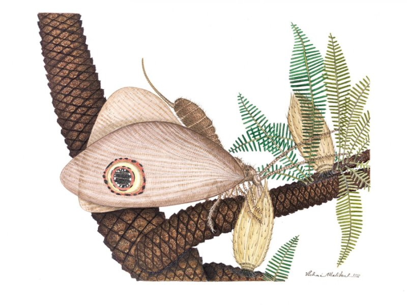 This is an artist's rendering of Oregramma illecebrosa consuming pollen drops from bennettitales, an extinct order of plant from the Triassic period.