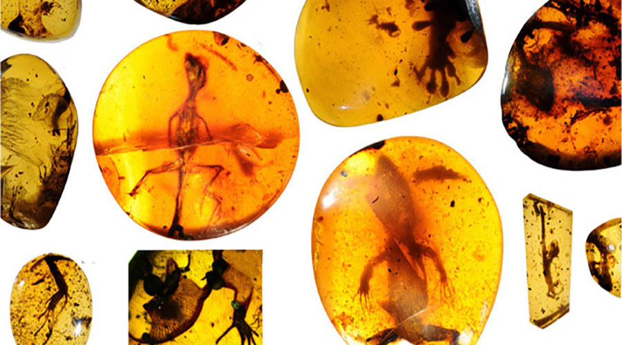 Lizards preserved in mid-Cretaceous Burmese amber. © advances.sciencemag.org