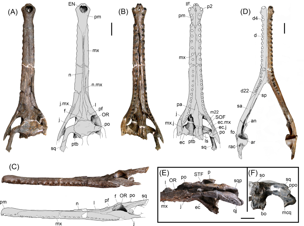 Gryposuchus pachakamue sp. nov. Photograph and schematic drawing of the skull (holotype, MUSM 1981) in dorsal (A), ventral (B), and lateral (C) view. (D) Photograph of the right mandible (MUSM 987) and schematic drawing in dorsal view. Details of the skull (E,F). (E) MUSM 900 in lateral view. (F) MUSM 1681 in occipital view. Abbreviations: an, angular; ar, articular; bo, basioccipital; d, dentary; d4, d22, dentary tooth positions; ec, ectopterygoid; ec.j, jugal surface for ectopterygoid; ec.mx, maxilla surface for ectopterygoid; EN, external nares; eo, exoccipital; f, frontal; fo, foramen; IF, incisive foramen; j, jugal; j.mx, maxilla surface for the jugal; l, lacrimal; ls, laterosphenoid; m22, maxillary tooth position 22; mcq, medial condyle of the quadrate; mx, maxilla; mx.j, jugal surface for maxilla; n.mx, maxilla surface for nasal; n, nasal; OR, orbit; p, parietal; pa, palatine; pf, prefrontal; pm, premaxilla; p2, premaxillary tooth position 2; po, postorbital; ppo, paraoccipital process; pt, pterygoid; ptb, pterygoid bullae; q, quadrate; qj, quadratojugal; qj.q, quadrate surface for quadratojugal;; rac, retroarticular crest; sp, splenial; sa, surangular; so, supraoccipital; sq, squamosal; SOF, suborbital fenestra; STF, supratemporal fenestra. Scale bars, 5 cm.