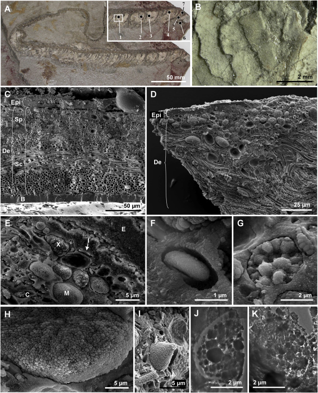 Preserved Skin in the Fossil Colubrid Snake MNCN 66503 (A) Entire specimen; inset shows anterior. Cream-colored material is fossil skin. Numerals 1–7 indicate sample locations. (B) Overlapping scales. (C–E) Scanning electron micrographs (SEMs) of fractured vertical sections through the skin, showing epidermis (Epi), dermis (De), basement membrane (B), chromatophores (iridophores [I], melanophores [M], and xanthophores [X]), stratum spongiosum (Sp), stratum compactum (Sc), and collagen fibers (C). The voids in SEM images typically represent structures that have separated into the counterpart of the sample during preparation. (F–I) Details of iridophore (F), xanthophore (G), and melanophores (H and I). (J and K) Transmission electron micrographs of xanthophore (J) and melanophore (K).