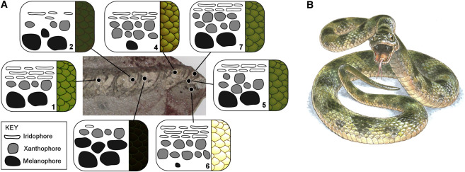 Color Reconstruction of the Fossil Snake MNCN 66503 (A) Schematic representation of the relative abundance and position of chromatophores in samples of skin from different body regions. Numerals denote samples discussed in the text. See also Tables S1 and S2. (B) Color plate by Jim Robbins.