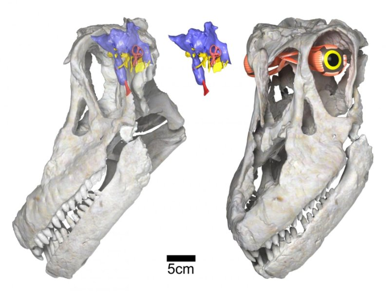 Sarmientosaurus head posture, brain & eye (WitmerLab): Digital renderings of the skull and reconstructed brain endocast and eye of the new titanosaurian dinosaur species Sarmientosaurus musacchioi. At left is the skull rendered semi-transparent in left side view, showing the relative size and position of the brain endocast (in blue, pink, yellow, and red) and the inferred habitual head posture. At center is the isolated brain endocast in left side view, and at right is a left/front view of the skull showing the reconstructed eyeball and its associated musculature. Scale bar equals five centimeters. Credit: WitmerLab, Ohio University