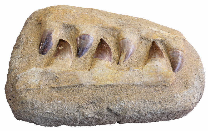 Fossilize teeth of a mosasaur (stock image). Mosasurs were large aquatic reptiles that went extinct at the end of the Cretaceous period, about 66 million years ago. Credit: © smuki / Fotolia