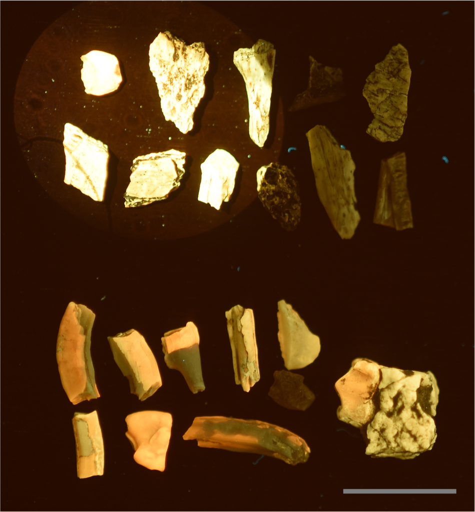 Fluorescent black light vs. blue laser. A direct comparison between a 15 watt fluorescent UV light illuminating all the fossils at a distance of 7cm, and a 447nm 500mw laser stimulating the specimens in the upper left corner. A, Specimens from the Lance Formation exhibit very low reactivity under fluorescent UVA bulbs. B, Specimens from the White River Formation typically fluoresce very well. This demonstrates that the intensity of laser stimulation can influence low reactivity specimens to fluorescence several orders of magnitude better than specimens known to fluoresce well under UV bulbs. Scale bar 1 cm