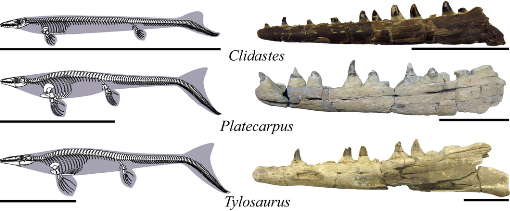 Body outlines and skeletons of mosasaur genera analysed in this study for scale (left) and representative dentaries for each genus (right). Figures redrawn and modified from Russell (1967) and Lindgren et al. (2010, 2011). Scale bars represent 3 m (left) and 10 cm (right).