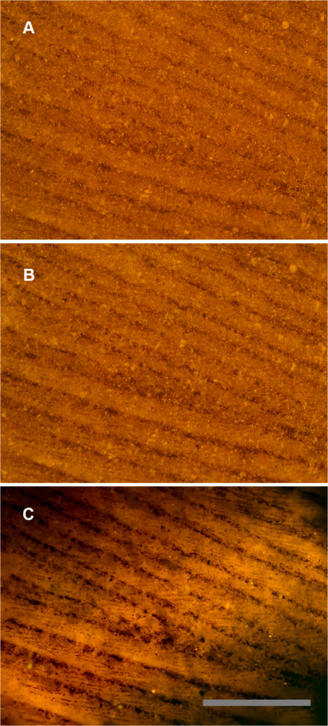 Feather under reflected and matrix fluoresced illumination. Green River Formation feather using identical images under different lighting conditions. A, Reflected light microscopy, only barbs are visible. B, Polarized light, some traces of barbules. C, Laser-stimulated fluorescence of matrix behind the carbon film backlights the feather and renders barbules visible across the entire field of view. Scale bar 0.5 mm.