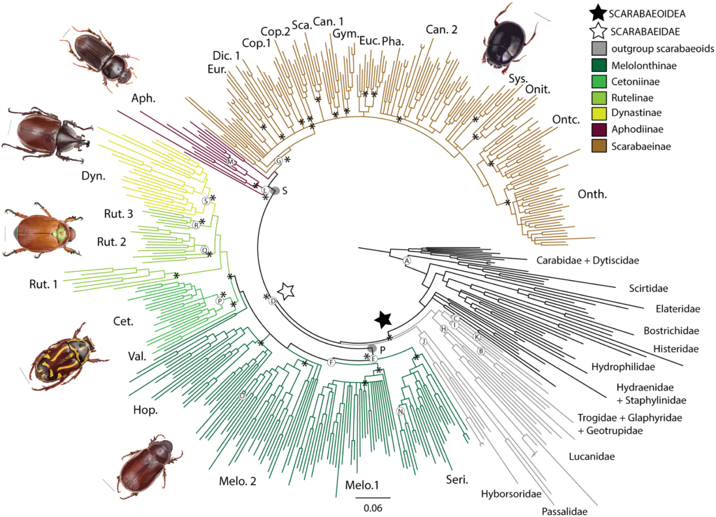 Bayesian Phylogeny of scarab beetles (Scarabaeidae). Taxa color-coded by scarab subfamily, with outgroups in grey (superfamily) and black (other beetles). Grey circles indicate polyphagous (P) and saprophagous (S) lifestyles. White circles represent the node priors A-S as per Table 2.* represents nodes for which divergence dates are inferred. See also S1 Fig for posterior probability and terminal names.