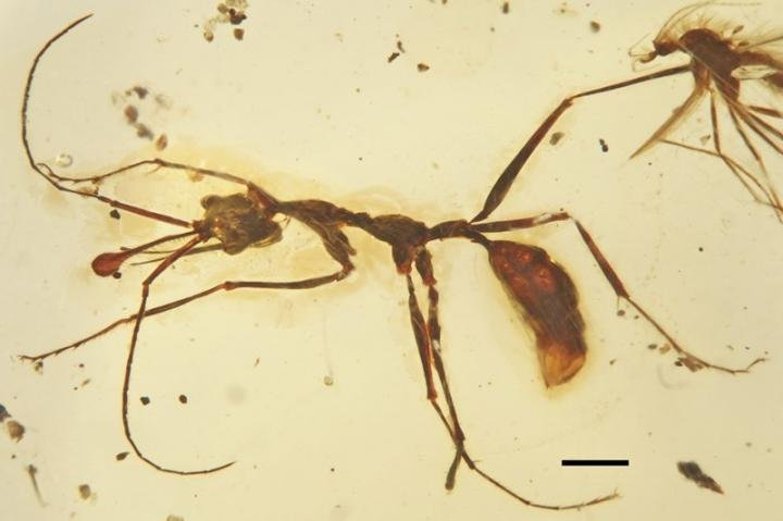 This is a general dorsal view of holotype of new late Cretaceous worker ants Ceratomyrmex ellenbergeri. Credit: Image by WANG Bo