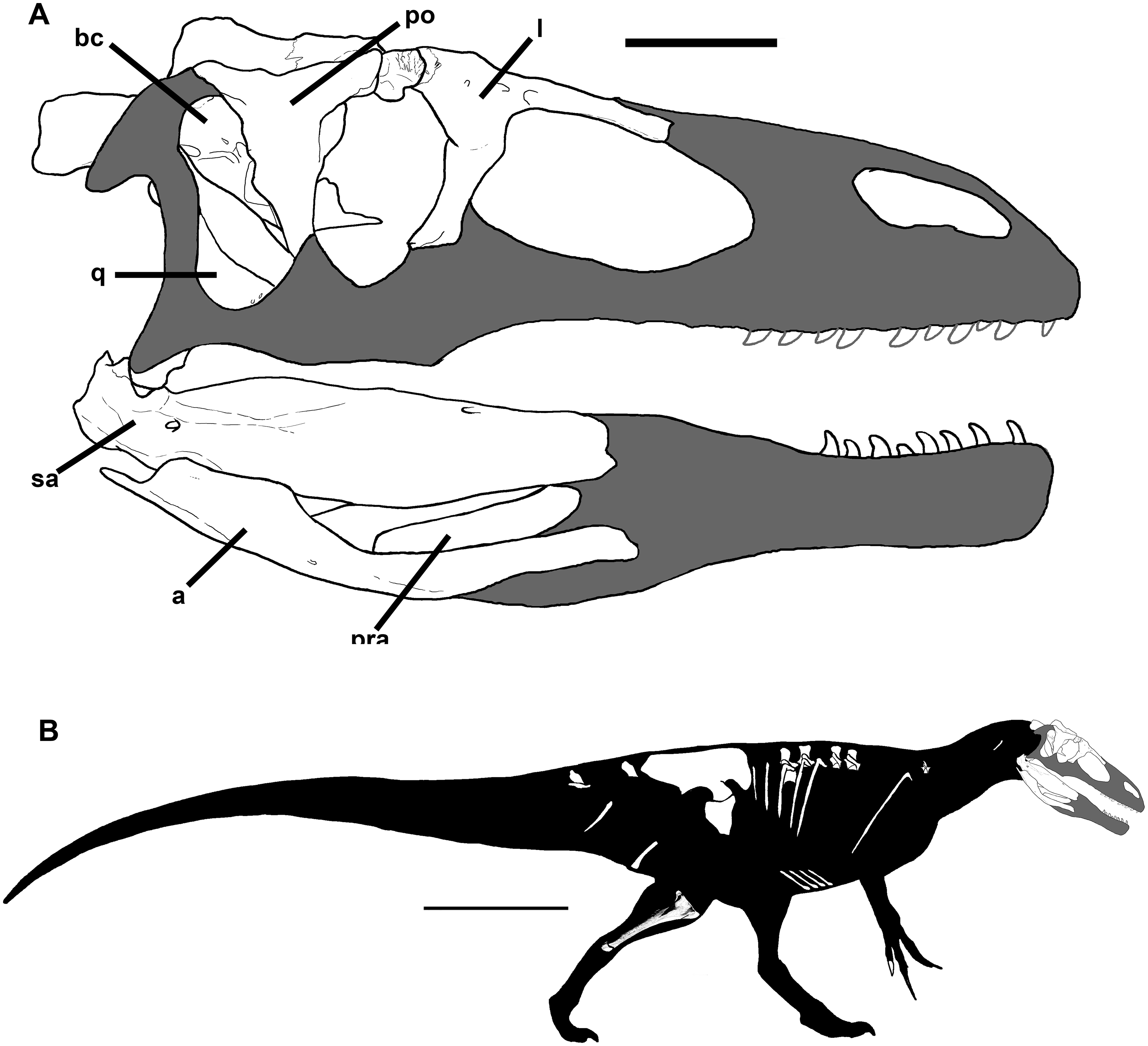 Skull reconstruction of Murusraptor barrosaensis, MCF-PVPH-411. B) Body reconstruction of Murusraptor barrosaensis, MCF-PVPH-411. Both illustrations show recovered elements in white. Scale bars: A = 10 cm, B = 1 m.