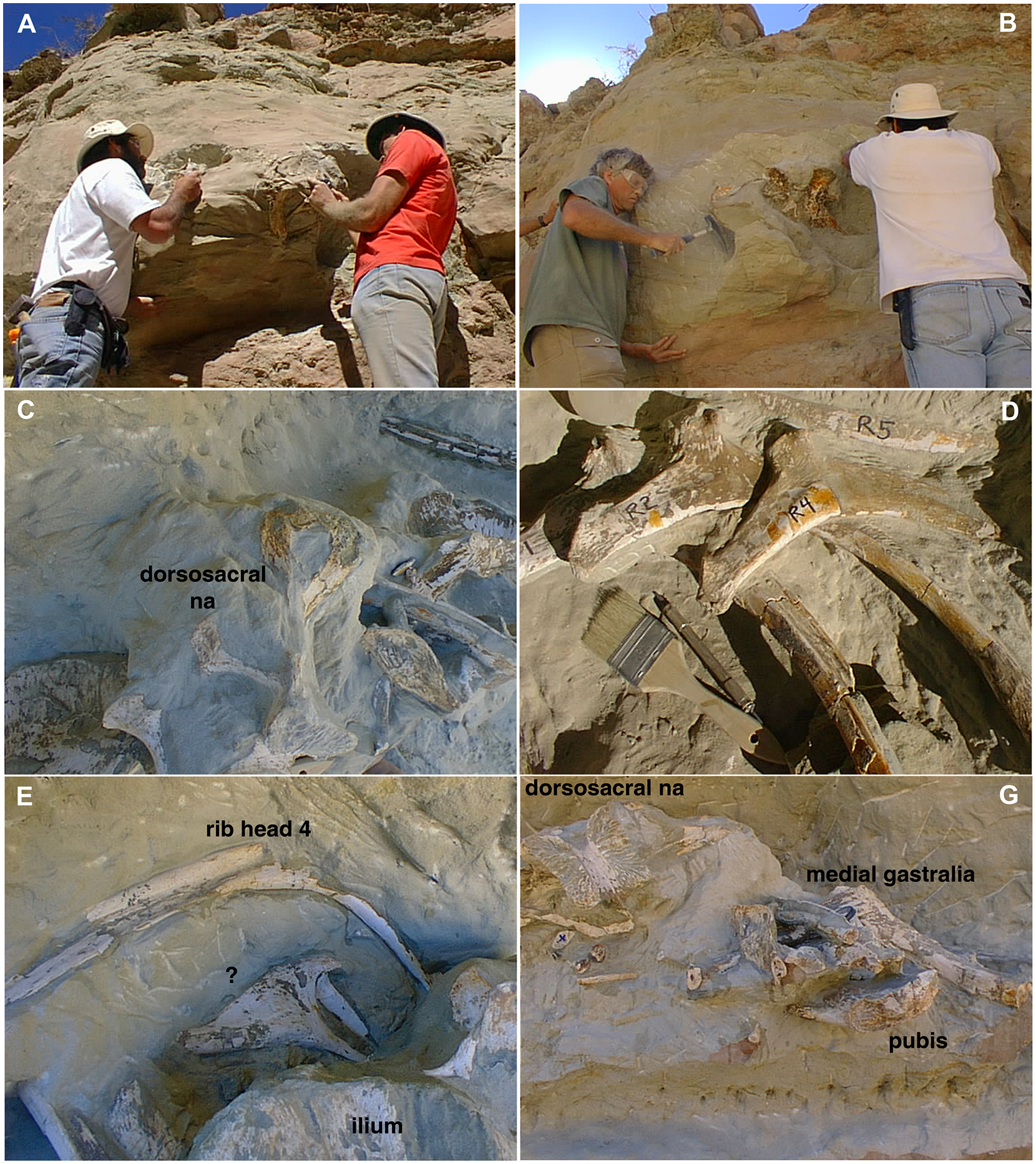 Field photos of the excavation of MCF-PVPH-411 (Murusraptor barrosaensis). A and B, the authors excavating the right ilium. C-F, different appendicular elements in their original burial positions before collection