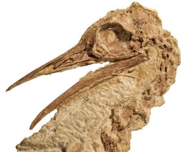 A Lithornithid skull from the Calciavis grandei fossil, found in Green River Formation of Wyoming. Credit: Sterling Nesbitt/Virginia Tech