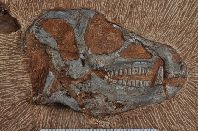 Fossil skull of Heterodontosaurus tucki