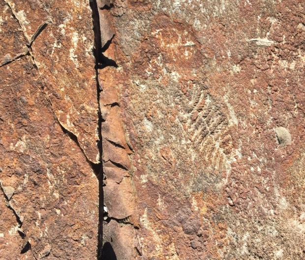 A fractosusus fossil in Mistaken Point Ecological Reseve. (Submitted by Emily Mitchell)