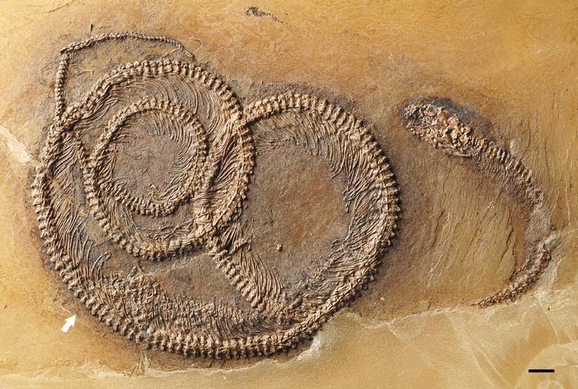 Snake with lizard and beetle: The rare tripartite fossil food chain from the Messel Pit. Credit: © Springer Heidelberg
