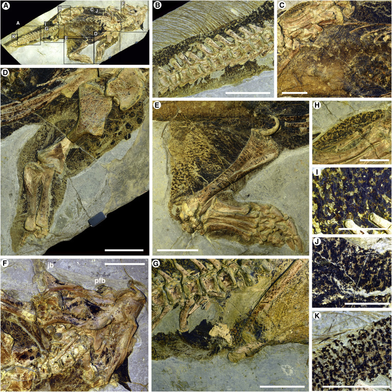 Details of Psittacosaurus sp. SMF R 4970, Photographed under Crossed Polarized Light Overview (A); tail region, showing countershading gradient (B); belly with lighter pigmentation (lower-left corner) and a dorsoventral pigmentation gradient (C); left forelimb with raised clusters of pigmented scales (D); left hindlimb preserving external disruptive patterns and striping on internal leg (E); head with patches of intensely pigmented integument (F); pigmented ischial callosity and cloacal region (G); integument associated with the right leg (H); detail of pigment patterns associated with the proximal tail region, dorsolateral surface (I); pigment patterns associated with the lateral torso (J); and pigment patterns associated with the distal tail region (K). Jb, jugal boss; Pfb, prefrontal boss. Scale bars represent 50 mm (B–G), 20 mm (H), and 10 mm (I–K).
