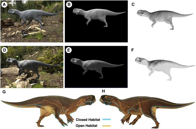 """Testing Psittacosaurus Countershading in Natural Conditions (A–F) Gray colored cast without bristles attached, imaged under """"closed habitat"""" conditions (A–C) and direct illumination (D–F). The model is shown as imaged in natural environment (A and D), masked (B and E), and in inverse color (C and F). (G and H) Predicted boundaries of rapid transition from dark to light skin for countershading in the diffuse illumination of closed habitats (blue) and of direct lighting in a sunny open habitat (orange). Stippled lines indicate 95% confidence intervals."""