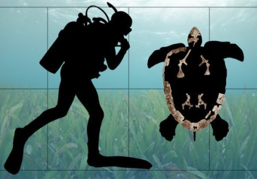 Silhouette of Ctenochelys acris overlaid with some of the fossils used to reconstruct the species. Credit: Drew Gentry, UAB