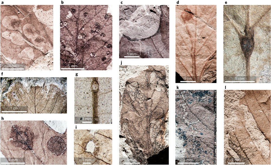 a–l, Latest Cretaceous samples from the Lefipán Formation (a–c), and early Palaeocene samples8 from the Salamanca (d–i) and Peñas Coloradas (j–l) formations. a, Multiple, overlapping blotch mines containing centralized frass (DT299) on leaf morphotype LEF28 (LefW; MPEF-Pb 4776). b, Spheroidal galls with striated surfaces (DT303) on LEF2 (LefE; MPEF-Pb 4259). c, Margin feeding with thickened reaction tissue (DT12) on LEF23 (LefL; MPEF-Pb 4758). d, Serpentine mine with spheroidal terminal chamber (DT300) on Cissites patagonica (PL1; MPEF-Pb 6557). e, Elliptical gall positioned on the primary vein at the intersection with secondary veins (DT84) on Laurophyllum piatnitzkyi (PL1; MPEF-Pb 6555). f, Row of parallel-sided holes near the leaf margin (DT64) on Dryophyllum australis (PL1; MPEF-Pb 6560). g, Spheroidal galls with distinct outer rims positioned on the primary vein (DT117) of Cissites patagonica (PL2; MPEF-Pb 6567). h, Concentric rings of piercing and sucking marks surrounded by dark reaction tissue (DT118) on SA19 (PL2; MPEF-Pb 4072). i, Hole feeding surrounded by a wide rim of blotched reaction tissue (DT113) on SA43 (PL2; MPEF-Pb 6561). j, Serpentine mines that transition to blotch mines with internal, intestiniform trails (DT301) on Fagophyllum duseni (LF; MPEF-Pb 6547). k, Elongate, curvilinear patches of skeletonized tissue (DT20) on SA70 (LF; MPEF-Pb 6549). l, Deeply incised margin feeding damage (DT15) on Dryophyllum australis (LF; MPEF-Pb 6546). DT, damage type27 (new DTs defined in Supplementary Discussion).