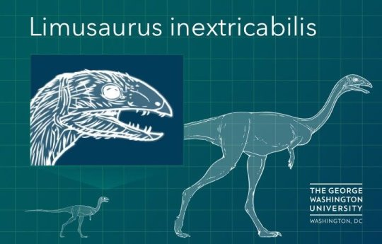 As Limusaurus grew from adolescent to adult, it lost its teeth and did not grow a new set. Credit: George Washington University