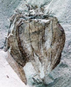 The new fossil groundcherry Physalis infinemundi from Laguna del Hunco in Patagonia, Argentina, 52 million years old. This specimen displays the characteristic papery, lobed husk and details of the venation. Credit: Ignacio Escapa, Museo Paleontológico Egidio Feruglio