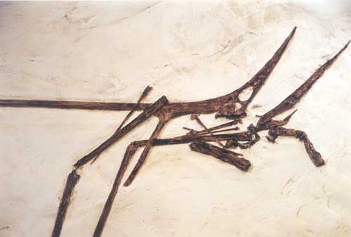 nyctosaurus skeleton